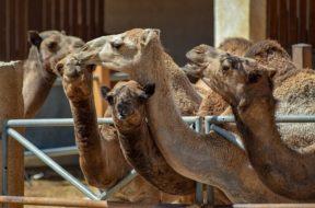 camels-3714257_640
