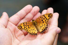 butterfly-4396444_640