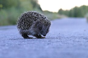 hedgehog-1500767_640