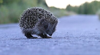 hedgehog-1500767_640