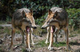 wolf-2973738_640